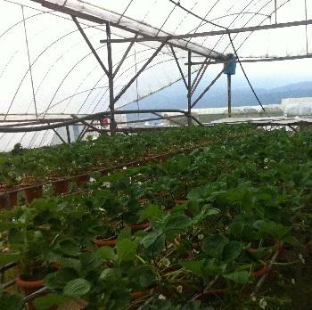 hidroponia morangos quinta