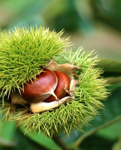 plantar castanheiros